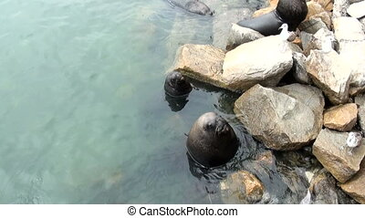 South American Sea Lions Waiting To Be Fed - Otaria...