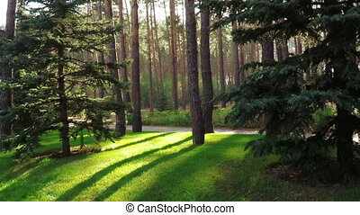 Path between pines in park - Slow motion path between pine...