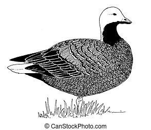 Emperor Goose - Chen canagica
