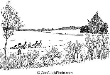 Canada Goose - Branta canadensis - in field