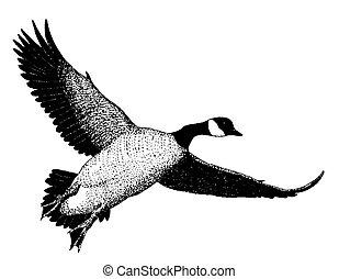 Canada Goose - Branta canadensis  - eastern (canadensis)