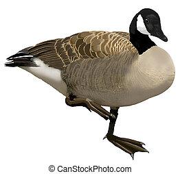 Canada Goose - Branta canadensis - eastern canadensis