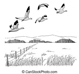 Snow Goose - Chen caerulescens - flying over field