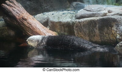 Sea Otters look at camera - Sea Otters (Enhydra lutis)...