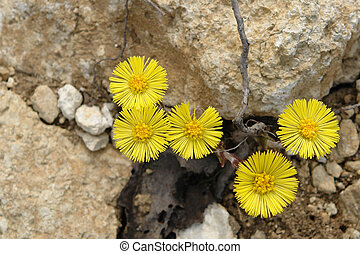 Coltsfoot - Tussilago Farfara - Group of coltsfoot flowers...