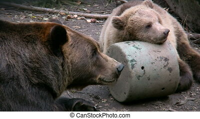 Brown Bear in captivity 1