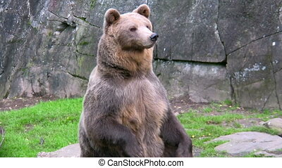 Brown Bear in captivity 2