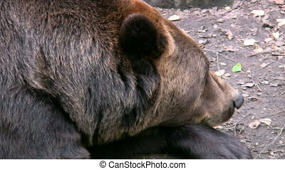 Brown Bear in captivity 3