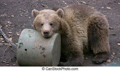 Brown Bear in captivity 4