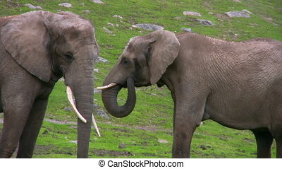 Elephant and Calf in captivity
