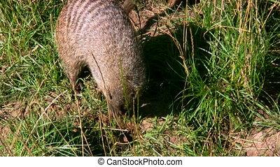 Mungos Mungo Banded Mongoose 1