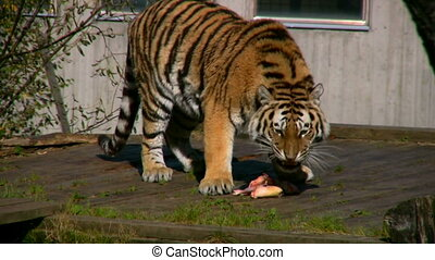 Siberian tiger eating meat