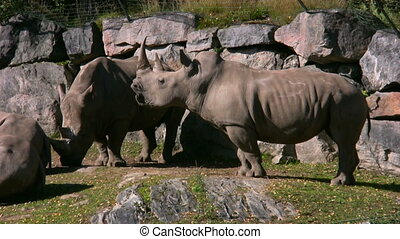 White Rhinoceros 2