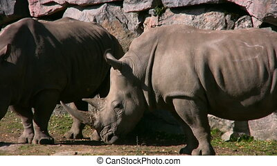 White Rhinoceros 3