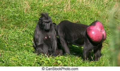 Black Ape - Celebes Crested Macaque Macaca nigra or Black...