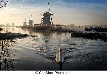 Swan swimming in a stream in a winter landscape - A white...