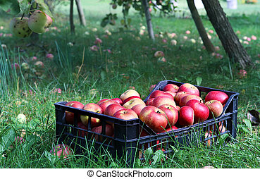 box full of apples