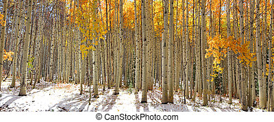 Aspen trees in snow - Colorful Aspen trees in snow at Kebler...
