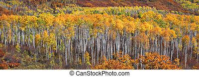 Row of autumn trees - Row of aspen trees in autumn time