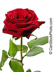 The red rose flower w green leaves