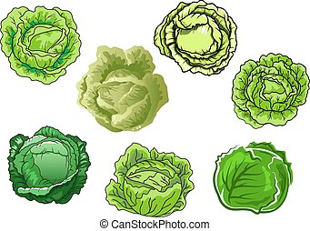 Fresh isolated green cabbage vegetables - Fresh cabbage...