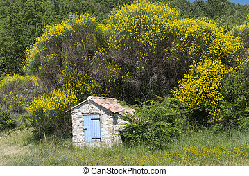 Brooms in Provence (France)
