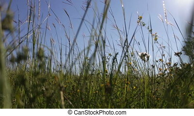 Meadow grasses in the field swaying in the wind - Green...
