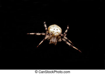 spider isolated - a spider isolated on black