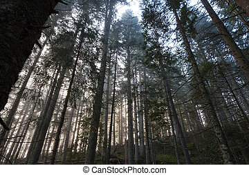 Misty morning forest - Misty morning spruce forest in...