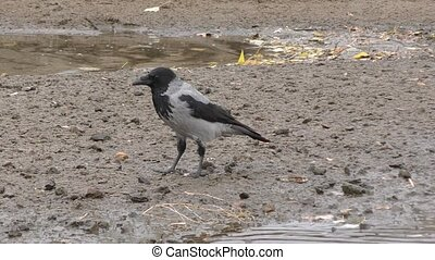 Grey Crow (LAT. Corvus cornix) or Hoodie - Grey Crow eats at...
