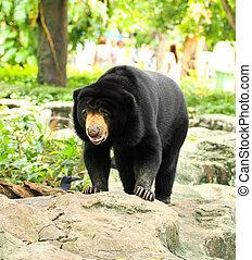 Malayan Sun Bear.