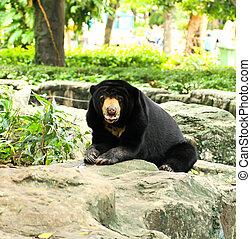Malayan Sun Bear  - Malayan Sun Bear.