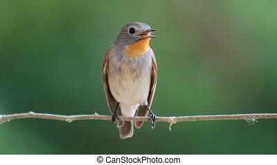 bird Red-throated Flycatcher (Ficedula albicilla) eating a...