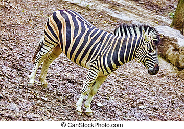 Zebras in their natural habitat. National Forest.
