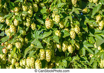 Hop - Background of the hop bush
