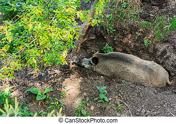 Swine - Top view of a wild swine