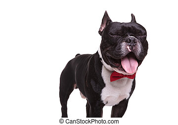 funny french bulldog with eyes closed and tongue exposed -...