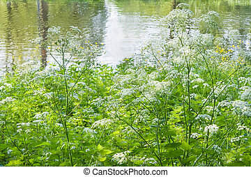 Blooming Cow Parsley at the waterside - Blooming white Cow...