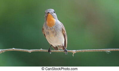 bird Red-throated Flycatcher Ficedula albicilla eating a...