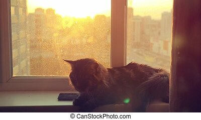 beautiful Maine Coon cat in slowmotion to sit on the window watch sunlight at sunset near mobile phone