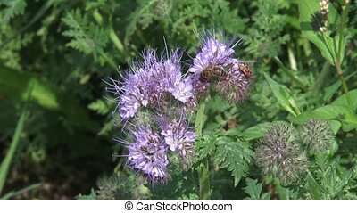 Honey bee + red bug feeding on Phacelia tanacetifolia -...