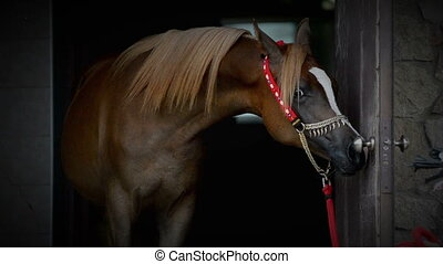 Purebred arabian horse portrait close up