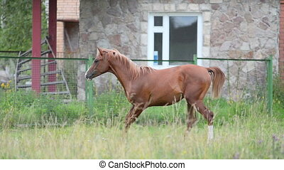 Chestnut stallion running in paddock