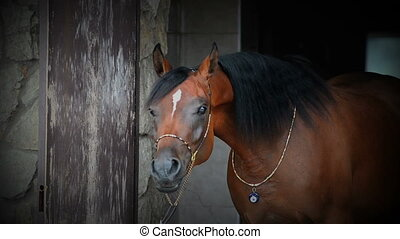 Beautiful horse - Purebred young arabian horse portrait