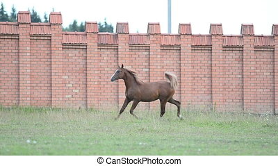 horse running - Chestnut stallion running in paddock