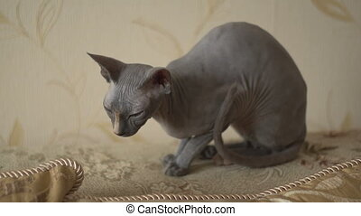 Sphinx cat - Calm cat sphinx sitting on a bed in the...