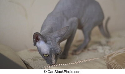 Sphinx cat exploring the edge of the sofa - Calm cat sphinx...