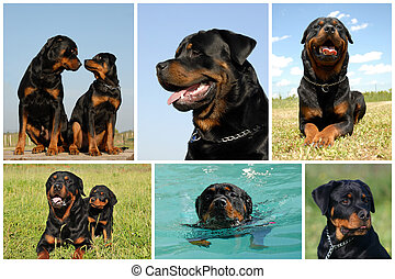 composite picture rottweiler - composite picture with...