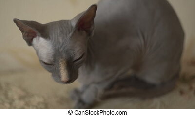 Sphinx cat close up - Calm cat sphinx sitting on a bed in...
