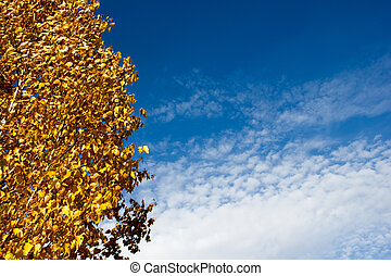 Golden birch leaves on blue sky background in autumn